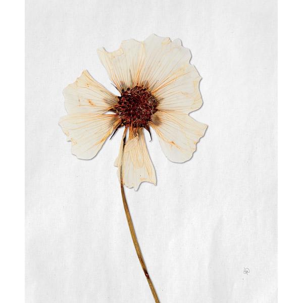 Dry Peach Rosa Blanda - White