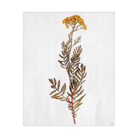 Dry White Tansy Flower - Tan