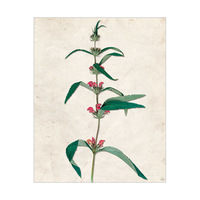 Dry Red Buttonweed - Tan